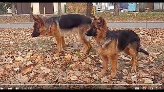 НЕМЕЦКИЕ ОВЧАРКИ на ПРОГУЛКЕ. Very beautiful German Shepherds. Одесса.