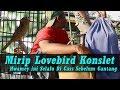 Mirip Lovebird Konslet Hwamey Coffee Late Di Cas Bareng Betina Sebelum Di Gantang  Mp3 - Mp4 Download