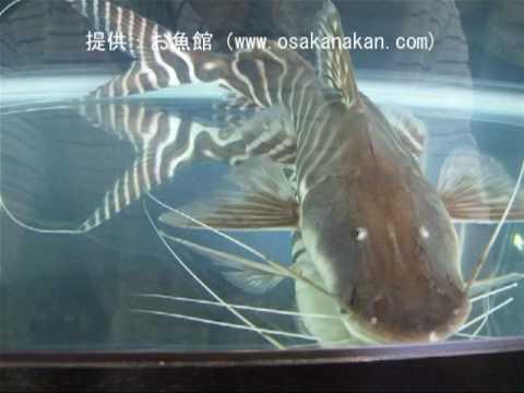 ゼブラ・キャット(Tigerstriped Catfish)学名:Brachyplatystoma Tigrinum