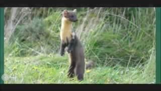 Pine marten reintroduction feasibility study - Vlog 1.