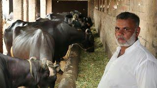 Pular Dairy Farm Sialkot | Buffaloes Dairy Farming in Urdu | Milk Business | Dairy Farming Urdu
