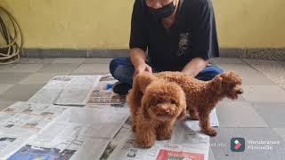 Toy Poodle Breeding  Pacak Anjing Poodle