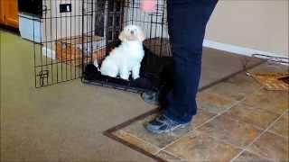 Labradoodle Puppy Hogan