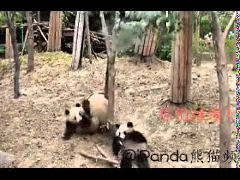 """endangered pandas report Data suggests that there are now around 2060 giant pandas in the wild, 1864 of  which are adults in the report, it was noted that """"evidence from."""