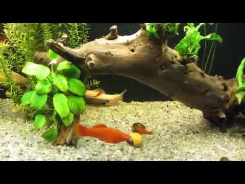 Вопрос: Каким рыбкам в аквариум нужны коряги Для чего Из какого дерева коряги?