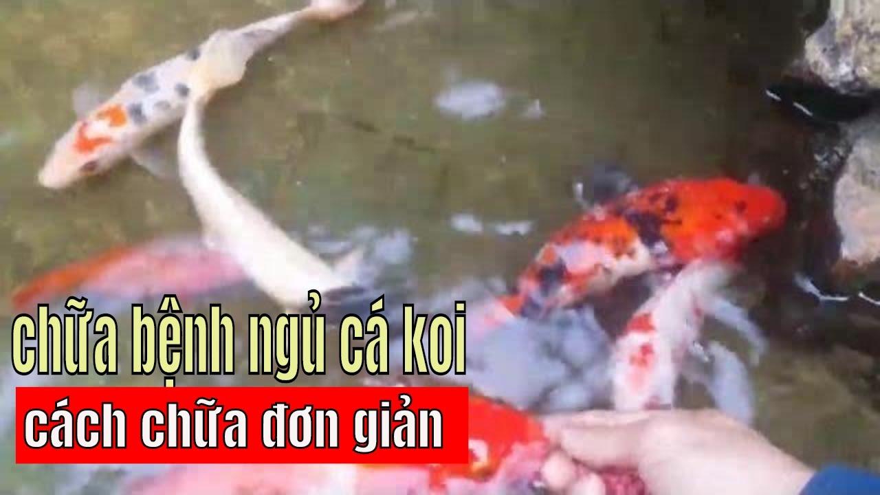 chữa BỆNH NGỦ cá koi rễ ợt | trị bệnh cho cá koi/ cure sleep in koi fish