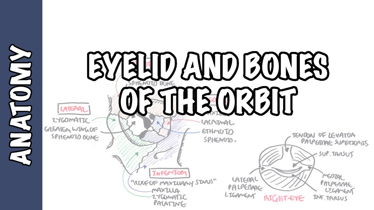 Diagram of facial orbit