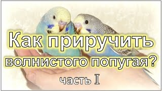 Как приручить волнистого попугая? #Волнистый #попугай #уроки по уходу и содержанию