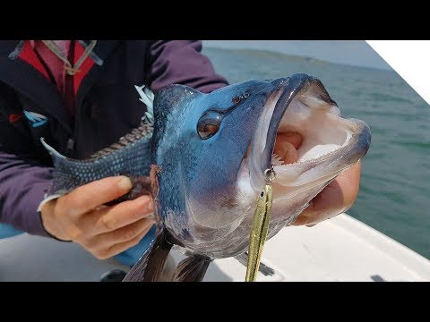 Raw Uncut Fishing - Non-Stop Sea Bass in Buzzards Bay