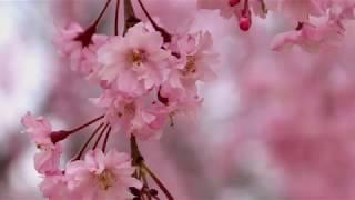2019-04-日本東北桜花.