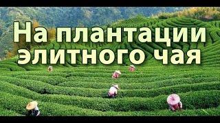 ☕► Чайные плантации - Ручная сборка элитных сортов чая