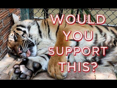 Are Tigers Really Drugged At Tiger Kingdom? -  Chiang Mai Thailand