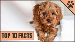 Cockapoo Dog Breed  Top 10 Facts