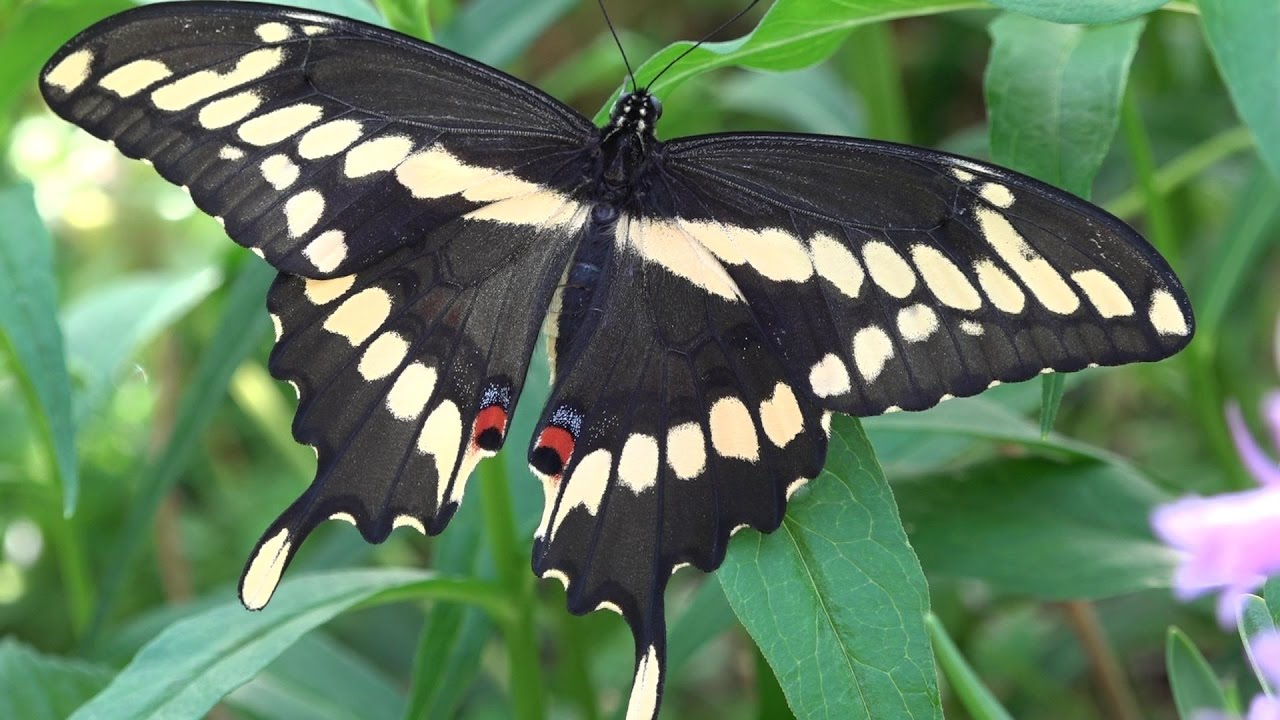 first flight of an eastern giant swallowtail  papilio