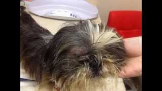 Shih Tzu - Mr. Renshaw Puppy Mill Survivor