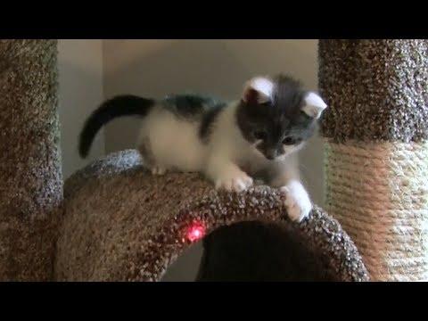 KITTEN VS LASER   Cute Kitten Leo Chasing Laser