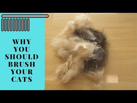 Cat Grooming - Why cat brushing is important for long-haired cats like Maine Coon or Siberian Cats