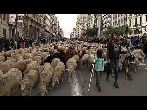 شاهد: قطعان من الغنم تحتل شوارع مدريد الأكثر شهرة  - نشر قبل 39 دقيقة