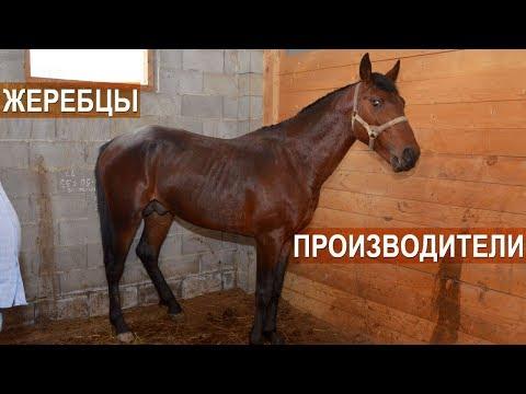 Жеребцы-производители. Кабардинский конный завод Аникеева