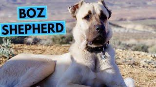 Turkish Boz Shepherd  TOP 10 Interesting Facts