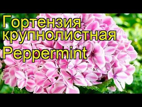 Гортензия крупнолистная Peppermint. Краткий обзор, описание характеристик, где купить саженцы