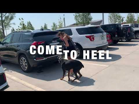 2 Year Old Doberman Pinscher | Best Dog Training | Off Leash K9 | Board and Train | Oklahoma