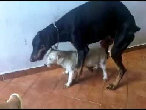 Big Dog Tries To Hump A Little Dog