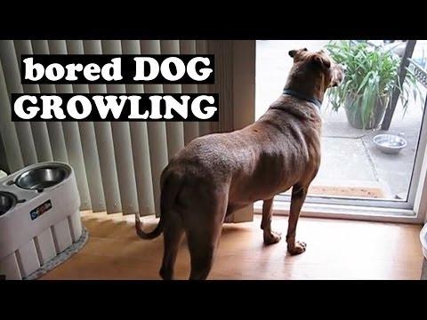 bored-rhodesian-ridgeback-dog-growl-growling-bark-barking-sound-angry-grumpy-upset-noises-by-jazevox