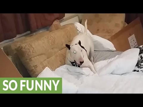 Has this English Bull Terrier lost his mind?