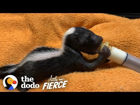 Bald Baby Skunks Grow Up Doing The Cutest Thing   The Dodo Little But Fierce