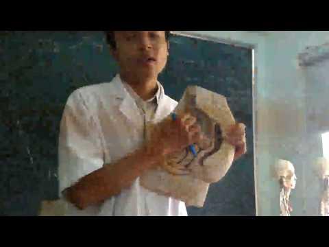 Giải phẫu học- ĐH Y dược Huế - Cơ quan sinh dục nữ