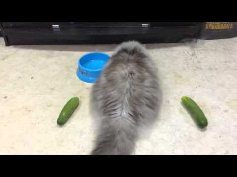 Not all cats are scared of cucumbers!