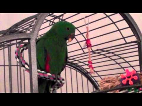 Jasper's Baby Talk (Eclectus Parrot)