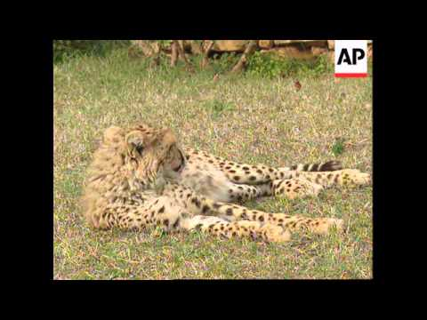 LEBANON: BEIRUT: LEBANESE MAN OPENS SANCTUARY FOR CHEETAHS