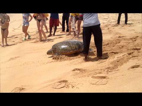 Sea Turtle Rescue - Tangalle Beach - Sri Lanka