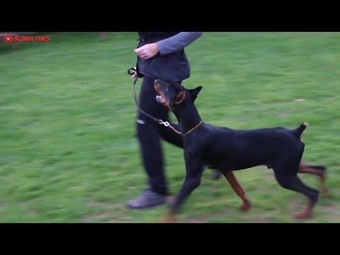 Rottweiler VS Doberman - Doberman VS Rottweiler