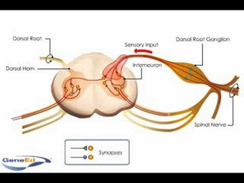 Spinal Cord Anatomy And Innervation Youtube
