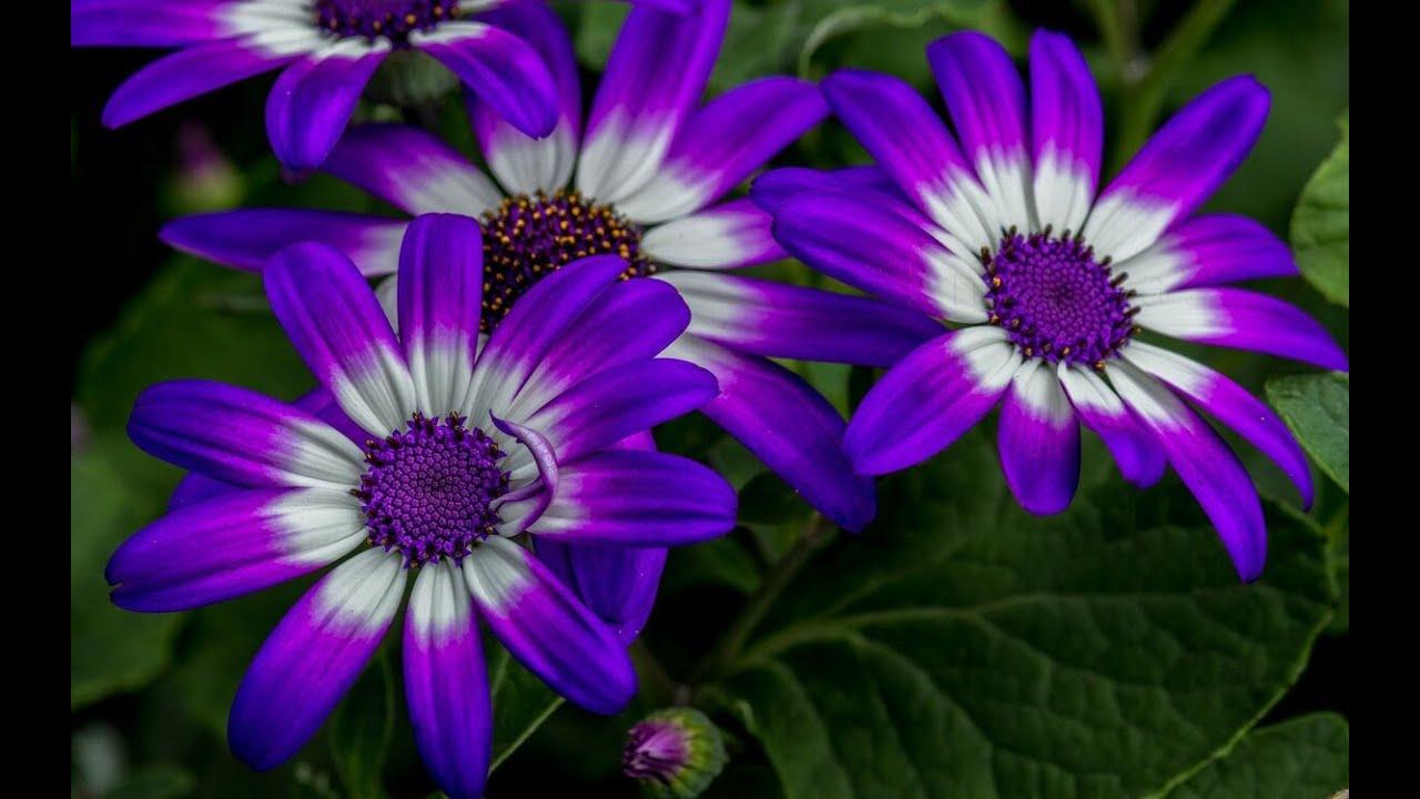 Остеоспермум БЫСТРОЕ Черенкование ЛЕГКИЙ СПОСОБ как размножать и черенковать цветы осенью