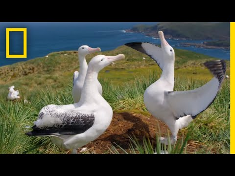 Albatrosses' Life-Long Bond Begins With Elaborate Courtship – Ep. 3 | Wildlife: Resurrection Island