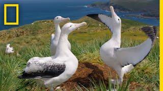 Albatrosses' Life-Long Bond Begins With Elaborate Courtship – Ep. 3 | Wildlife: Resurrection Island