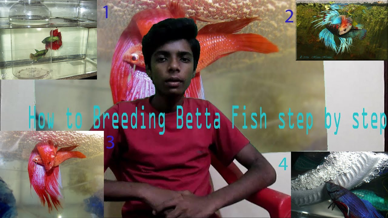 How to Breeding Betta Fish step by step {GHow} - YouTube
