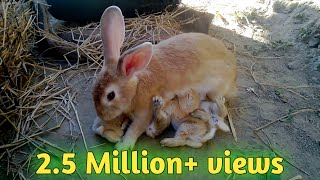 How Baby Rabbits Feeding Milk From Their Mother HD |