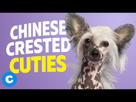 8 Things Only Chinese Crested Owners Will Understand | Chewy