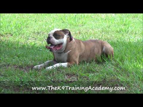 Thor an American Bulldog with his Advance Obedience - The K9 Training Academy