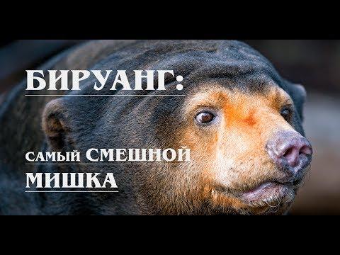 БИРУАНГ: Самый ДОБРЫЙ, но ВЫМИРАЮЩИЙ медведь