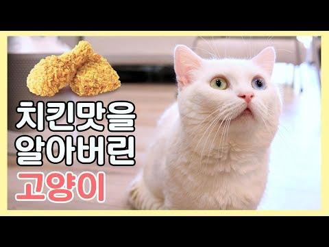 치킨 맛을 알아버린 고양이 - 치느님의 위대함