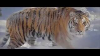 Siberian Tigers Vs. Drone