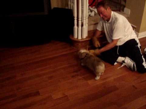 Corgi Puppy Slippery Wood Floors Shuffle Dog Youtube