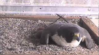 3/23/13 2:05: Cher spread wings in box; SCPBRG Falcons: SF PG&E peregrines
