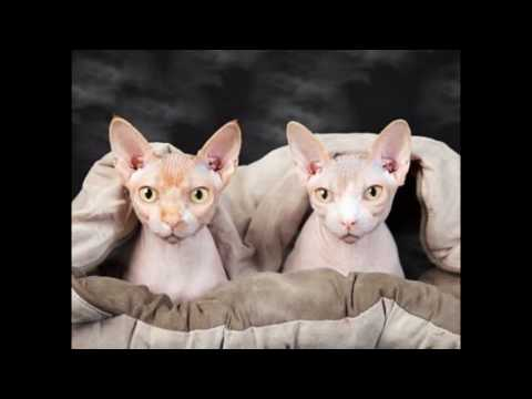 Sphynx Cat and Kittens | Really Charming and Nice!